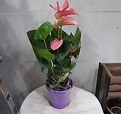 안시리움.핑크|Anthurium andraeaeanum