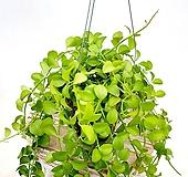 풍성하다 풍성해 디시디아 에어플랜트 공중식물 공기정화식물 