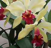 카틀레야.골든벨.노랑색그라데이션에붉은립프.꽃중대형종.향기좋은향.고급종.잘않나오는 품종.인기상품.꽃대. 