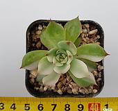 치와와금/r86|Echeveria chihuahuaensis