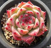 치와와린제 1111|Echeveria chihuahuaensis