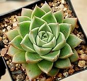 롱기시마*푸미라 16-70 Echeveria longissima