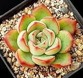 롱기시마교배종 16-191 Echeveria longissima hyb