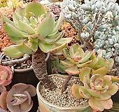 백봉+롱기시마교배종 Echeveria longissima hyb