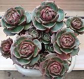 환엽 롱기시마 Echeveria longissima
