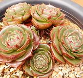 돌기나오는 환엽롱기시마 Echeveria longissima