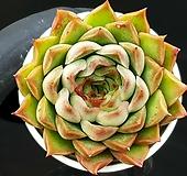 폴덴롱기시마 69-145 Echeveria longissima