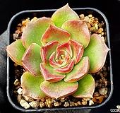 롱기시마교배종 17-117 Echeveria longissima hyb