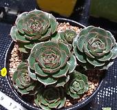 환엽롱기시마  목대 Echeveria longissima