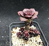 벨바라 롱기시마 Echeveria longissima