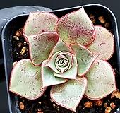롱기시마 69-417 Echeveria longissima