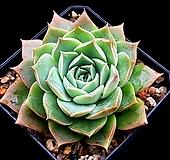 롱기시마교배종(중대) 18-73 Echeveria longissima hyb