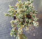 벽어연(묵은군생) 11-97|Corpuscularia lehmanni