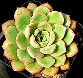 롱기시마교배종(대) 18-300 Echeveria longissima hyb