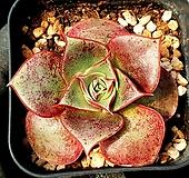 롱기시마 18-329 Echeveria longissima