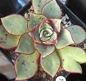 롱기시마13 Echeveria longissima