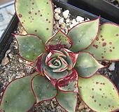 롱기시마27 Echeveria longissima