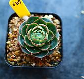 롱기시마계절금637 Echeveria longissima