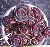 묵은 환엽롱기시마 자연군생21 Echeveria longissima
