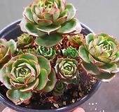환엽롱기시마묵은군생 1114-593 Echeveria longissima