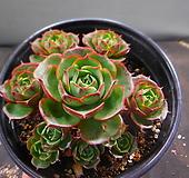 환엽롱기시마묵은군생 1114-1136 Echeveria longissima