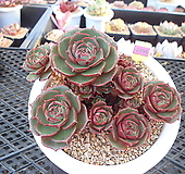 원종롱기시마11-2396 Echeveria longissima