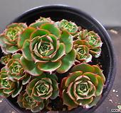 환엽롱기시마묵은군생 1114-1041 Echeveria longissima