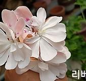 러쉬무어리베레(조날틱제라늄) Geranium/Pelargonium