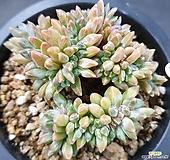 클라우쿰 철화|Pachyphytum compactum var. glaucum