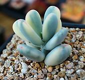 방울복랑금8|Cotyledon orbiculata cv variegated