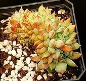 라밀라떼철화 70-442|Echeveria Lamillette  f cristata