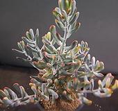 원종복랑금특대품 1115-2266|Cotyledon orbiculata cv variegated