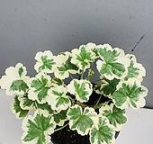 프랭크헤드리제라늄 (동일품배송) Geranium/Pelargonium