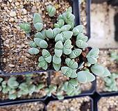 원종벽어연_랜덤|Corpuscularia lehmanni
