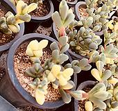 벽어연금 (선별랜덤)|Corpuscularia lehmanni