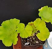 사만다스템프(제라늄) Geranium/Pelargonium
