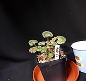 빌드베론로즈(제라늄) Geranium/Pelargonium