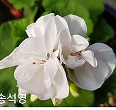 송석영(제라늄) Geranium/Pelargonium
