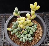 벽어연금3014|Corpuscularia lehmanni