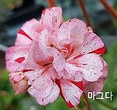 마그다(제라늄) Geranium/Pelargonium