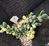 벽어연금4|Corpuscularia lehmanni