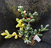 벽어연금9|Corpuscularia lehmanni