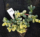벽어연금109|Corpuscularia lehmanni