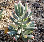 원종복랑금542 11두이상 Cotyledon orbiculata cv variegated