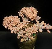 大-묵은 오팔리나철화(12.3) Graptoveria Opalina