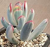 원종방울복랑금 Cotyledon orbiculata cv variegated