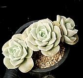 러블리로즈(중대) 34-368 Lovely Rose