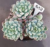 블루엘프1205-652 Echeveria blue elf