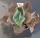 프릴수연1205-701|Echeveria Suyon