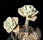러블리로즈(얼큰이) 35-86 Lovely Rose